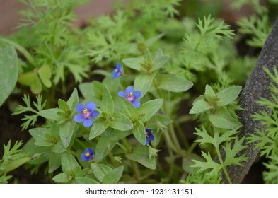 Burr medic,Medicago polymorphs is a plant species of the genus Medicago.Found throughout the world.Other names California burclover, toothed bur clover. This is with red line in each leaf.blue flowers