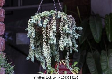 Burro Tail Sedum Succulent
