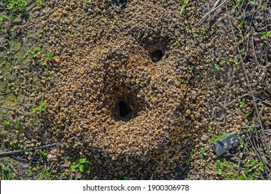 Burrow opening of ground-nesting plasterer bee of the family Colletes.