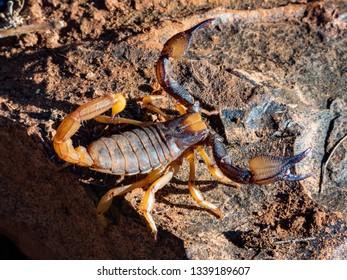 Burrower Scorpion (Opistophthalmus pluridens)