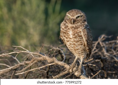 Burrowing Owl adult male perched on dead branches with green foliage background (portrait orientation)