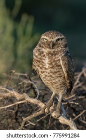 Burrowing Owl adult male perched on dead branches with green foliage background (vertical orientation)