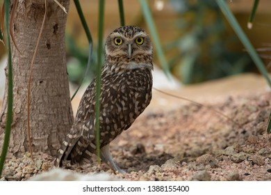 The burrowing owl (Athene cunicularia)