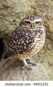A Burrowing Owl (Athene cunicularia)