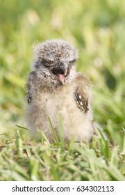 Burrowing Owl, Athene cunicularia, baby owl in deep green grass with open beak