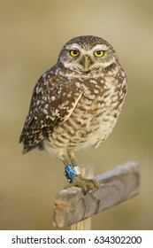 Burrowing Owl, Athene cunicularia, banded on both legs with identification tags standing on stick with brown or tan background
