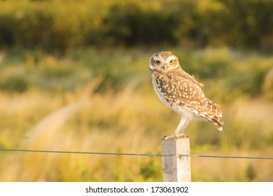 Burrowing owl (Athene cunicularia) on a fence, at Cortaderas, San Luis, Argentina