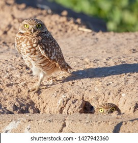 A burrowing owl (Athene cunicularia) stands next to a nest hole while another peeks out next to a road in California.
