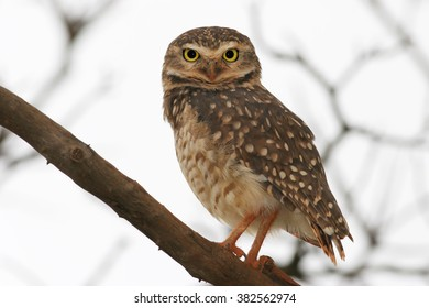 Burrowing owl (Athene cunicularia) in tree looking at you, Brasilia, Brazil