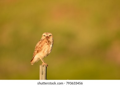 Burrowing owl hunting for a mouse