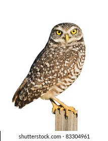 Burrowing Owl isolated on white.Latin name - Athene cunicularia.