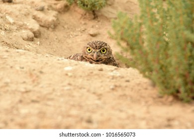 Burrowing Owl looking from its nest in the ground