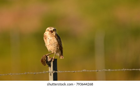 Burrowing Owl with a mouse breakfast sitting on a post