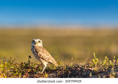 Burrowing Owl on the grass, inside a conservation park