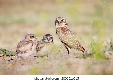 Burrowing Owl  on the Ground