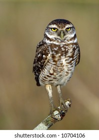 Burrowing Owl on a Perch