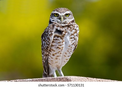 Burrowing Owl Perched On Wall
