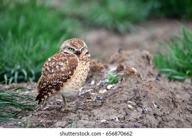 Burrowing owl sitting by its nest