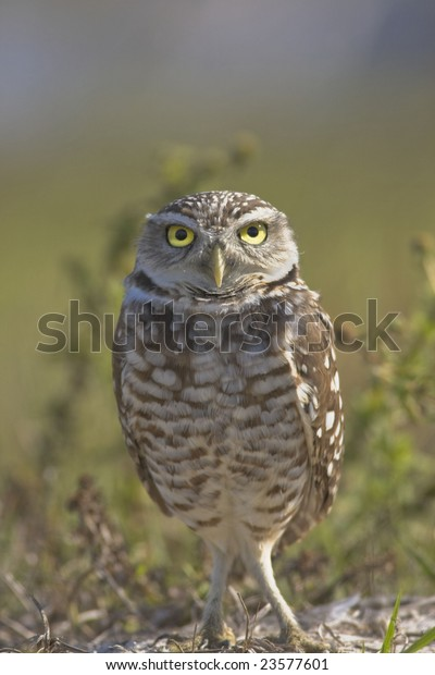 Burrowing owl stare. These eyes!