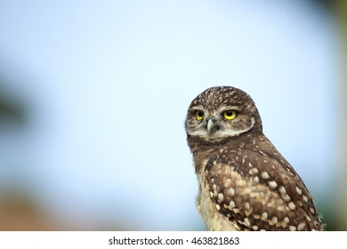 A burrowing owlet on a blue sky background