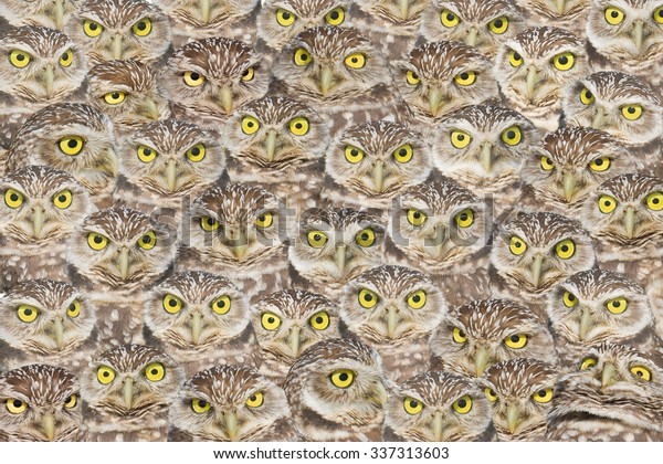 Burrowing Owls group portrait. Latin name - Athene cunicularia.