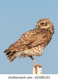 Burrowing owls migrate to Colorado every summer.