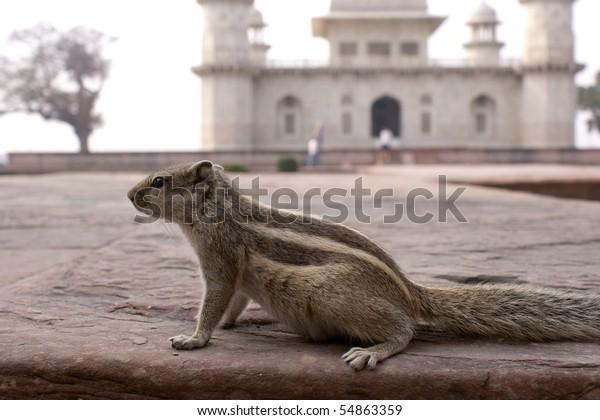 Burunduk (Tamias sibiricus) Asian striped squirrels or chipmunks