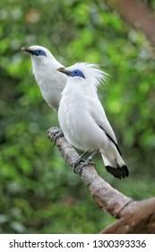 Burung Jalak Images Stock Photos Vectors Shutterstock