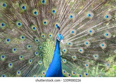 48 Gambar Burung Merak Biru Gratis