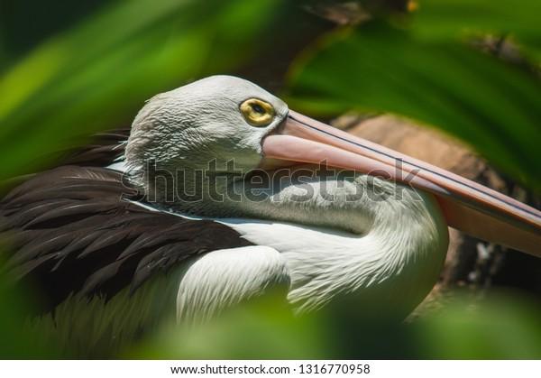 Burung Undan Pelikan Type Water Bird Stock Photo Edit Now 1316770958