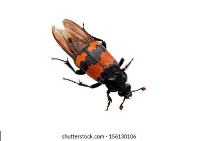 The Burying beetle (Nicrophorus vespilloides) with its big antennas can smell dead meat miles away, fly to the dead corp and bury it, plant the eggs in the meat..., isolated