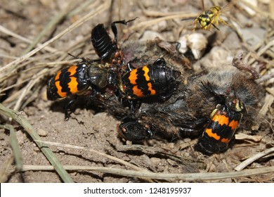 Burying Beetles (Nicrophorus orbicollis) on a dead mouse at Rock Cut State Park in northern Illinois