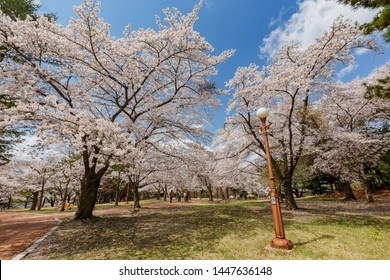 Busan, APR 4: Beautiful cherry tree blossom around the famous Bulguksa temple on APR 4, 2014 at Busan, South Korea