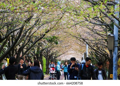 BUSAN, KOREA - APRIL 9, 2017 : Tourists and locals walking under pink cherry blossom tunnel in Busan, South Korea
