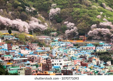 Busan, South Korea - APRIL 7, 2018: Gamcheon Culture Village in during of cherry blossom time.