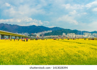 Busan, South Korea MARCH 31, 2019: Beautiful landscape with yellow rapeseed field against the blue sky in Daejeo Park,Busan,South korea