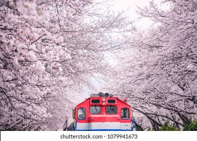 Busan train between raw of cherry blossom in Jinhae, Jinhae Gunhangje Festival in Korea, Gyeonghwa Railway Station, South Korea