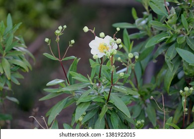 Bush Anemone, Carpenteria californica California native, hardy evergreen shrub with green narrowly elliptic opposite leaves and 5-8 cm across white scented anemone like flowers, conical capsule fruit.