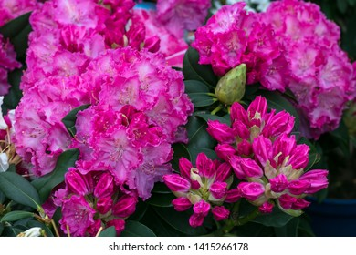Bush of azaleas in pink color. Rhododendron Pearces. Pink flowers close-up.  Scarlet, red, azaleastrum. Alpine rose is bloom. Potted garden. Hot pink flower. Floral background, pattern. Botanical view