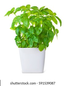 The bush of basil in a pot on white background