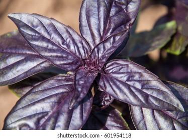 Bush basil purple in the garden close-up