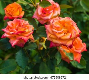 Bush of beautiful light red roses in flower garden