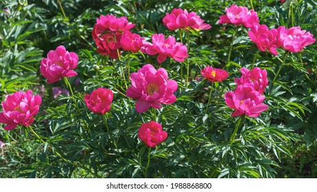 A bush of beautiful peonies of American selection Kaskaskia Auten.