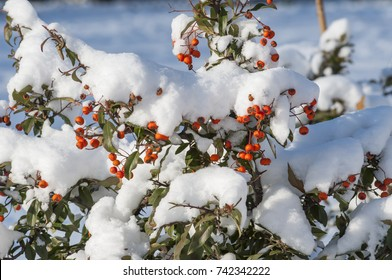 bush with berries covered with snow