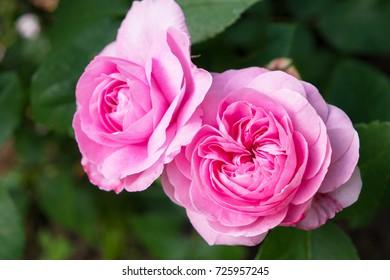 Bush blooming pink roses
