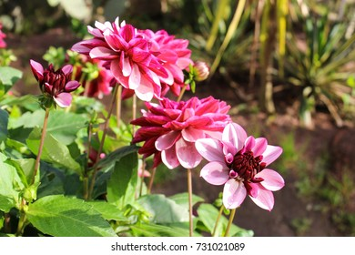 A bush of blossoming dahlias with pink and burgundy petals in a beautiful garden