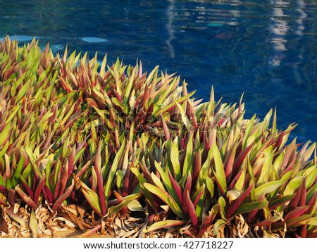 The bush of boatlily (Tradescantia spathacea or Moses-in-the-Cradle) near the swimming pool in the morning