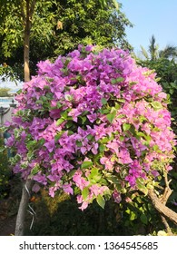 Bush of Bougainvillea or paper flower