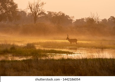 Bush Buck during sun down in the savanna of Moremi game reserve in Botswana in the okavango delta, afrika