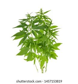 bush of cannabis isolated on white background